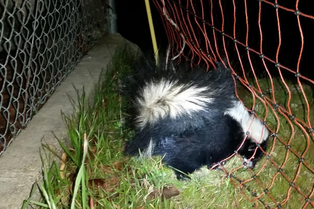 150108 skunk